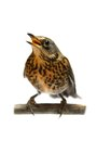 The female fieldfare on white turdus pilaris isolated Stock Photography