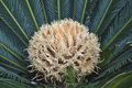 A female flower of cycad Royalty Free Stock Photo
