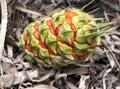 Female fruit cone Australian cycad Royalty Free Stock Photo