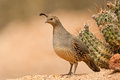Female Gambel's Quail Royalty Free Stock Photos