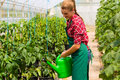 Female gardener in market garden or nursery at gardening with apron watering vegetables plants Royalty Free Stock Photo