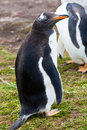 Gentoo penguin female Royalty Free Stock Photo