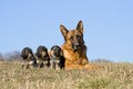 Female German Shepherd dog with nice puppies Royalty Free Stock Photo