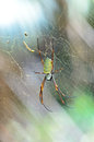 Female giant golden orb weaver spider in thailand Stock Photos