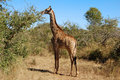 Female Giraffe in Africa Royalty Free Stock Photography