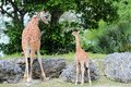 Female Giraffe & Baby Royalty Free Stock Images