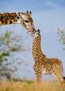 Female giraffe with a baby in the savannah. Kenya. Tanzania. East Africa.