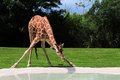 Female giraffe drinking reticulated camelopardalis bending down and in a pool of water in zoo miami south florida Stock Photography