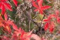 Female goldcrest in purple leaves a regulus regulus perches the middle of the red and coloured of an autumnal bush lithuania Stock Image