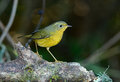 Female golden bush robin tarsiger chrysaeus beautiful in thai forest Royalty Free Stock Images