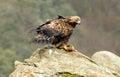 Mujer oro águila