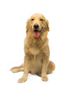 Female golden retriever lovely isolated in white background with clipping path Royalty Free Stock Photography