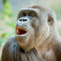 Female Gorilla Looking at the Camera Royalty Free Stock Photo