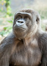 Female gorilla looking up wistfully head and chest of a western lowland and to the left in a pensive and wistful way Royalty Free Stock Photo
