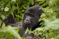 Female gorilla in Rwanda Stock Images