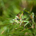 Female grasshopper Royalty Free Stock Image