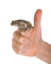Female gray tree frog on hand hand showing that everything is g isolated white background good Stock Photography