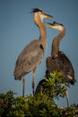 Female great blue heron deals with young offspring a teenager Stock Photography