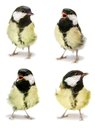The female great tit set on white parus major isolated Royalty Free Stock Photo