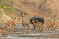 Female Greater Kudu In Midst O...