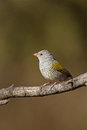 Female Green-Winged Pytilia (Melba Finch) Royalty Free Stock Photo