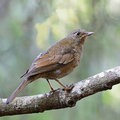 Female grey winged blackbird beautiful bird turdus boulboul standing on a branch side profile Stock Photography