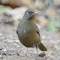 Female grey winged blackbird beautiful bird turdus boulboul standing on the ground breast profile Royalty Free Stock Photos