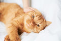 Female hand caress cat red in bed Stock Images