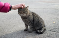 Female hand closeup petting stray gray cat Royalty Free Stock Photo
