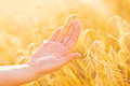 Female hand in cultivated agricultural wheat field. Royalty Free Stock Photo