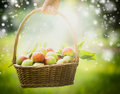 Female hand holding a basket with red apples on natural background, selected focus, blur, summer, spring, sun Royalty Free Stock Photo