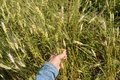 Female hand holding ears of wheat and rye on the field Royalty Free Stock Photo