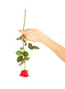 Female hand holding a red rose on white background Stock Photos