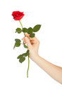 Female hand holding a red rose on white background Royalty Free Stock Photo