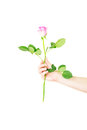 Female hand holding a single red rose isolated over the white background Stock Images