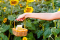Female hand holding a wicker basket with a jug of sunflower oil Royalty Free Stock Photo