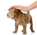 Female hand patting sharpei puppy dog isolated on white background Royalty Free Stock Photos