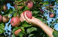 Female hand take fresh ripe Red Fuji apples from an apple tree Royalty Free Stock Photo