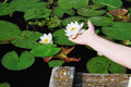 Female hand with a water lily against the lake Royalty Free Stock Photo