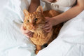Female hands caress cat red in bed Stock Photography