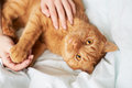 Female hands caress cat red in bed Royalty Free Stock Photo