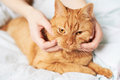 Female hands caress cat red in bed Royalty Free Stock Images