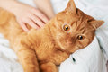 Female hands caress cat red in bed Stock Photo