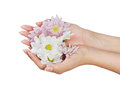 Female hands with flower image of beautiful isolated on white Stock Photography