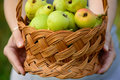 Female hands holding basket of apples full green Royalty Free Stock Photo
