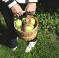 Female hands holding basket full of apples selective focus Royalty Free Stock Image