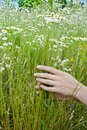Female hands holding a bouquet of camomiles Royalty Free Stock Photo