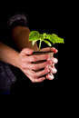 Female hands holding a small cucumber plant over a black background Stock Images