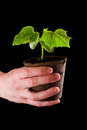 Female hands holding a small cucumber plant over a black background Stock Image