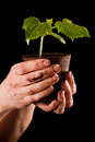 Female hands holding a small cucumber plant over a black background Royalty Free Stock Photography
